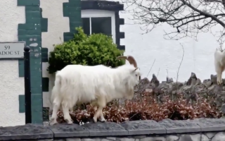 """الصورة: بالفيديو.. غاب البشر فذهبت """"الماعز"""" إليهم في أوروبا"""