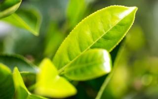 الصورة: معقّم طبيعي مستخلص من «الشاي»