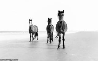 """الصورة: خيول جزيرة """"كمبرلاند"""" البرية"""