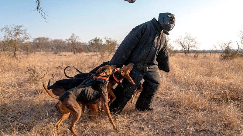 يتم نشر الكلاب في مجموعات، ويمكنها القبض على الصيادين بشكل أسرع من الحراس. عن «التايمز»