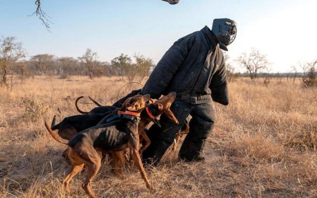 الصورة: جنوب إفريقيا تستخدم الكلاب في تعقّب صيادي الحيوانات البرية والقبض عليهم
