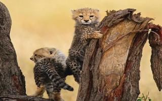 الصورة: بالصور.. فهود مهددة بالانقراض في افريقيا