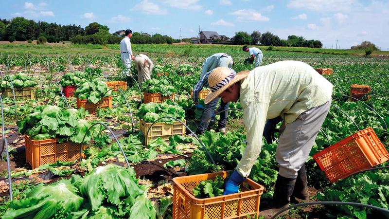 إفلاس مزارع في اليابان فاقم معاناة العمال اللاجئين.  ارشيفية