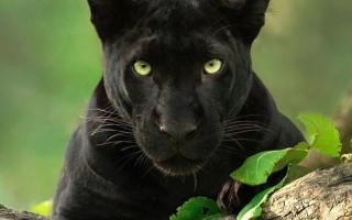 الصورة: بالصور.. العثور على النمر الأسود النادر جنوب الهند