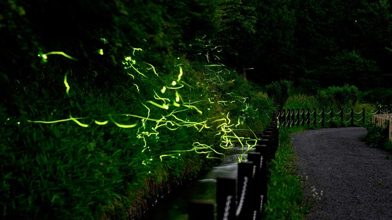 الحشرات يشتعل ضوؤها حيناً وينطفئ حيناً آخر وتدور على نفسها كأنها في لوحة باليه. ■ أ.ف.ب