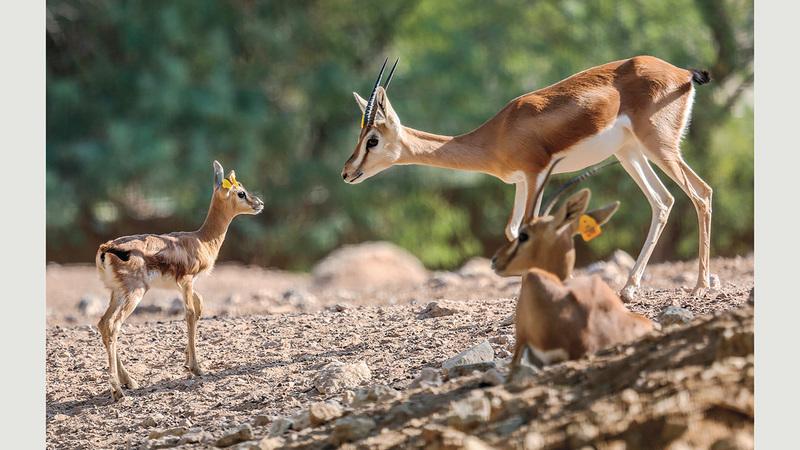 برامج الإكثار الطبيعية تسعى للحفاظ على الأنواع المهددة بالانقراض.   من المصدر