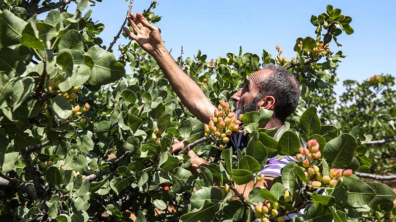 مزارع يقلّم أشجار الفستق الحلبي التي  أهملت فترة طويلة ما أثر على إنتاجها. ■ أ.ف.ب