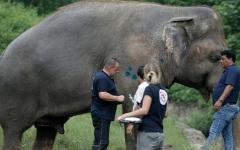 الصورة: الفيل الأكثر وحدة في العالم ينتقل للعيش في كمبوديا