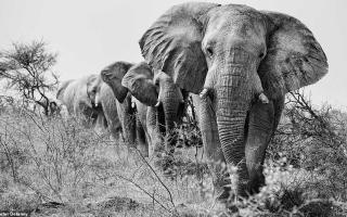 الصورة: بالصور: الفيلة الملكية