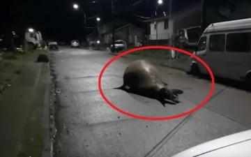 الصورة: بالفيديو: فيل بحري ضخم يتجول ليلاً في شوارع تشيلي