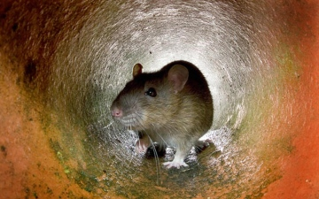 الصورة: «كورونا» يتسبب في تزايد وانتشار الفئران في الشتاء