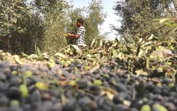 الصورة: بالفيديو.. جني الزيتون واستخراج زيته موسم تاريخي للفلسطينيين