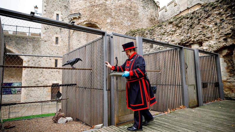 يعيش في البرج ثمانية غربان وفق مرسوم ملكي صدر في القرن الـ17.  أ.ف.ب