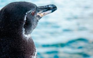 الصورة: زيادة تاريخية بأعداد طيور البطريق والغاق في غالاباغوس