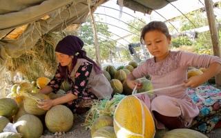 الصورة: الشمّام الوفير يخفف أعباء «كورونا» في أوزبكستان