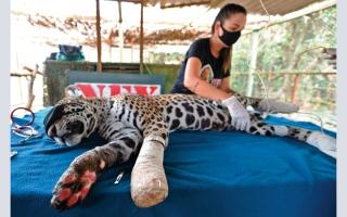الصورة: الجاغوار «أوسادو» يعود إلى موطنه بعد العلاج بالليزر