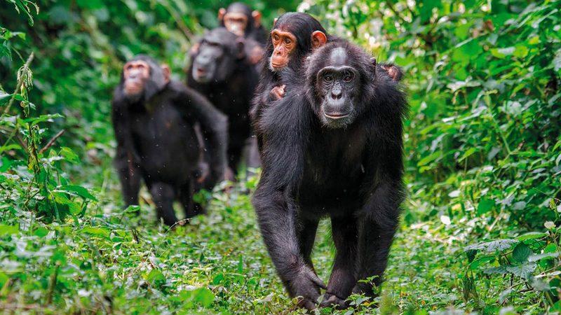 الخطر يتهدد حياة الشمبانزي في الغابة.   أرشيفية
