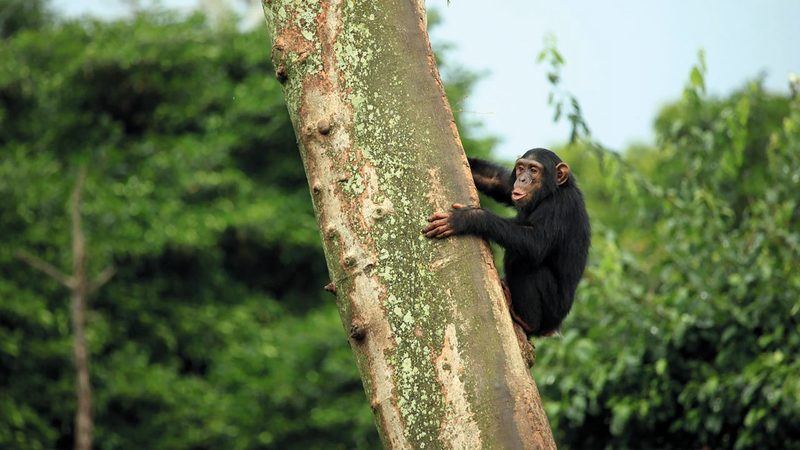 باحثون اكتشفوا تفشي فيروسات بشرية تقتل قرود الشمبانزي.  أرشيفية