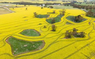 الصورة: بالصور.. حقول الكانولا الذهبية في استراليا