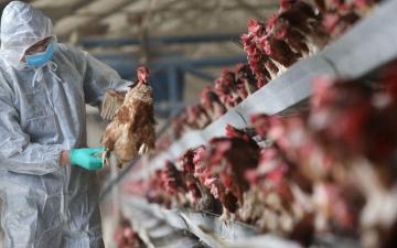 الصورة: اكتشاف إنفلونزا الطيور في مزرعة بريطانية