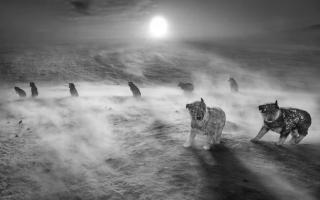 الصورة: بالصور.. كلاب الهاسكي في القطب الشمالي