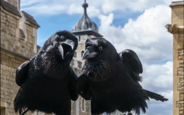 الصورة: ملكة غربان برج لندن «ميرلينا» تختفي في ظروف غامضة