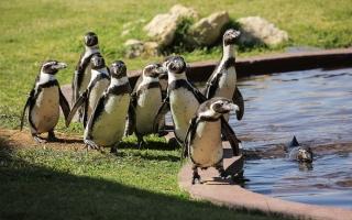 """الصورة: بالفيديو.. """"موكب البطاريق"""" مغامرة مجانية جديدة في حديقة حيوان العين"""