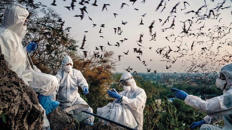 باحثون يلتقطون عينات من فضلات الخفافيش في تايلاند.  أرشيفية