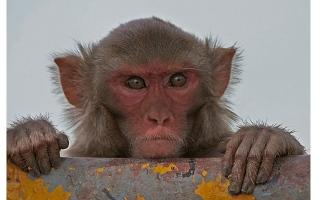 الصورة: قردة تشترط فدية لإعادة مسروقات السياح في بالي