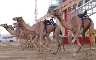 الصورة: العاصفة والرئاسة يتصدران «اليذاع» في مهرجان ولي عهد دبي للهجن