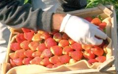 الصورة: فراولة بيت لاهيا.. «ذهب أحمر» ينعش اقتصاد «القطاع» المحاصر