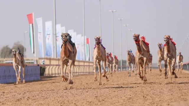 صورة «العاصفة» تبدع في سباقات البكار لمهرجان ولي عهد دبي للهجن – رياضة – محلية