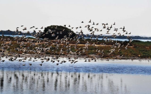 الصورة: بالصور.. خور أم القيوين.. تستوطنه طيور الفلامنغو وتزينه أشجار القرم