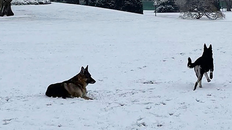 الكلبان يستمتعان بالجري في الغطاء الثلجي الأبيض. غيتي