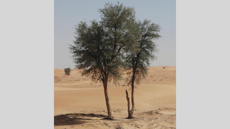 تعتبر أزهار شجرة الغاف وثمارها وأوراقها وأغصانها ولحاؤها وجذورها موارد وموائل لتشكيلة من النباتات والحيوانات المستوطنة. الإمارات اليوم