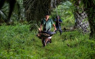 الصورة: بالصور: زيت النخيل.. تجارة أندونيسيا الرابحة منذ عصور