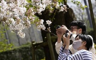 الصورة: بالصور.. زوار يلتقطون صورا لأزهار الكرز في حديقة طوكيو
