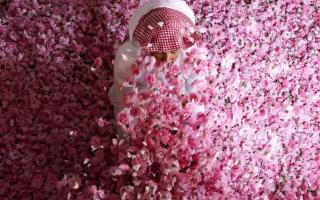 """الصورة: موسم قطاف الورد في الطائف """" زهرة الحجاز """""""