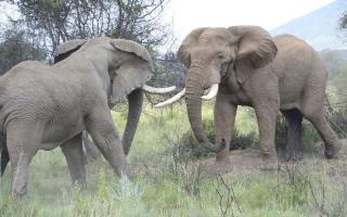 الصورة: بالصور.. معركة قاسية بين اثنين من الأفيال العملاقة جنوب افريقيا