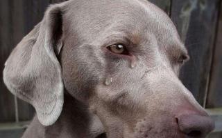 """الصورة: بالفيديو.. مشهد مؤثر لدموع كلبة """"أم""""!"""