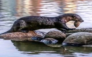 الصورة: «كورونا» يصيب عدداً من ثعالب الماء في حديقة حيوان أمريكية