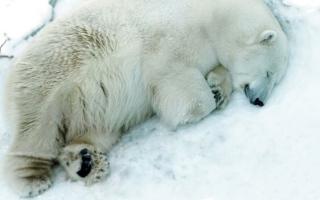 الصورة: روسيا.. نفوق دب أبيض في حديقة حيوان جراء ابتلاعه دمية أطفال