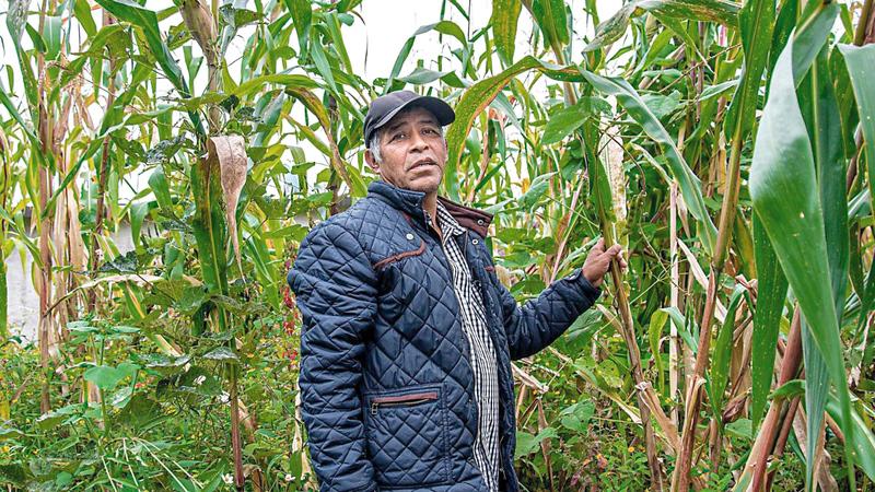 الجفاف دمّر الموسم الزراعي لكثير من المزارعين المكسيكيين.  أرشيفية