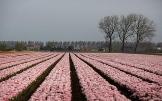 الصورة: بالصور.. حقول من الورود في بلجيكا