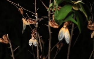 الصورة: بالصور: ظهور حشرة السيكادا لأول مرة منذ 17 عاماً