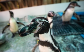 الصورة: بالصور.. طيور بطريق عمياء تعيش بملجأ في تشيلي