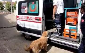 الصورة: بالفيديو.. كلب مخلص يثير العواطف بعد مرافقة مالكته المريضة ركضاً خلال نقلها الى المستشفى