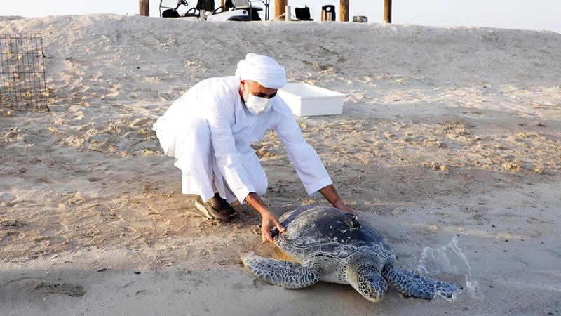 ذياب بن محمد بن زايد شارك في عملية إطلاق السلاحف التي تعتبر الأكبر من نوعها في المنطقة.  من المصدر