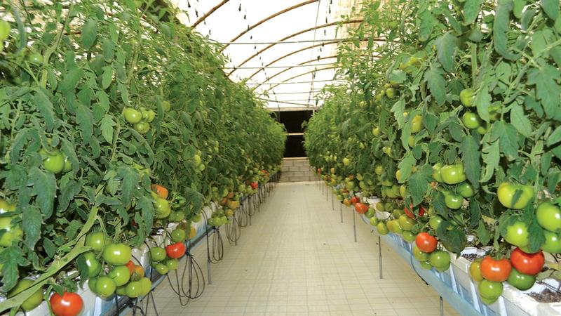 اعتماد نظم الزراعة الحديثة مكن بعض المنتجات من تغطية نسبة كبيرة من الطلب المحلي.  أرشيفية