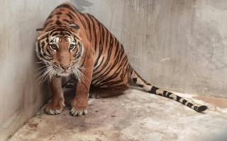 الصورة: اعتقال إندونيسي لحيازته أجزاء من جسم نمر